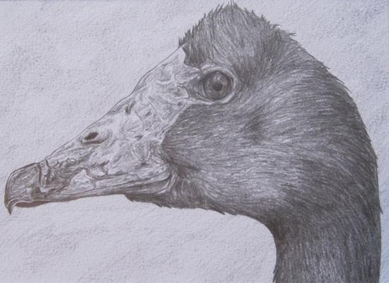 Magpie Goose (pic)